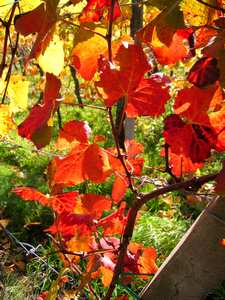 Feuilles de vignes en Alsace en automne