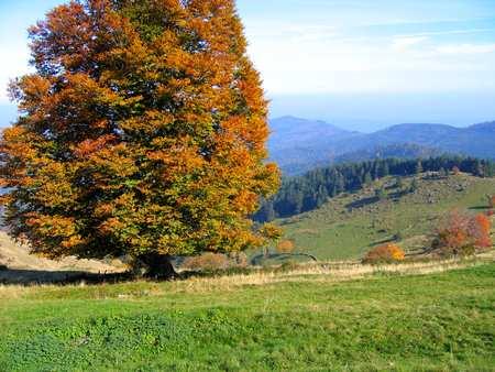 Arbre dans les Vosges avec ses feuilles d'automne