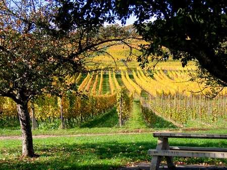 Vignoble de Soultzmatt en automne